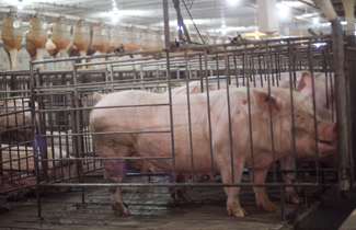 A Pre Remodel Barn With Pigs In Conventional Stalls